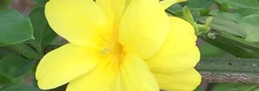 Primrose jasmine / オウバイモドキ