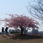 カワヅサクラ 丘の上 満開の花を撮る人たち