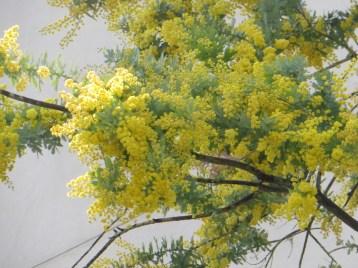 ミモザ・アカシア満開の花の様子