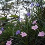 ヤナギバルエラソウ 花の咲く様子