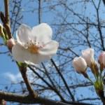 2016開化日の桜 ソメイヨシノ