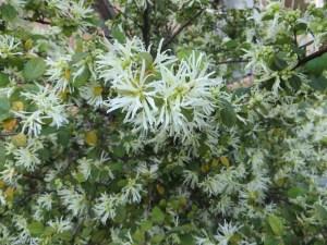 トキワマンサク 白花の品種