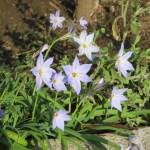 薄いブルーのハナニラの花
