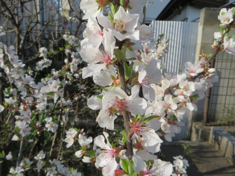 Nanking cherry/ ユスラウメ