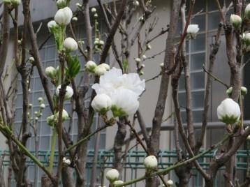 Chinese bush cherry/ ニワザクラ