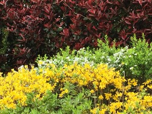 植え込みの中のレンギョウ