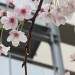 雨に濡れる花 ソメイヨシノ