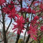 モモ 菊桃の花アップ