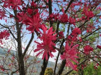 菊桃の花アップ
