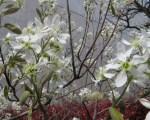 Juneberry/ジューンベリー