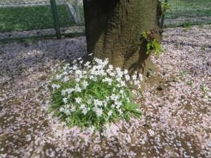 散った桜の花びらの中で咲くハナニラ