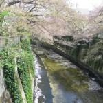 神田川を流れる花びらと桜 神田川を流れる花びらと桜 ソメイヨシノ