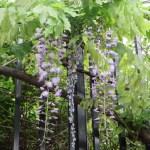 フジ 花の様子(咲き始め)