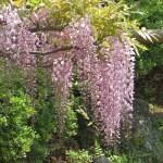フジ ピンク色の系統の花