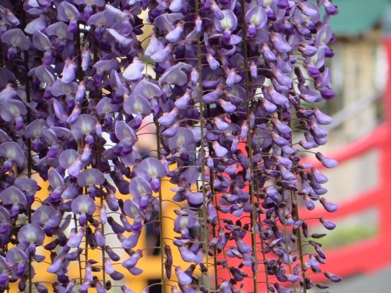 Japanese wisteria/ フジ