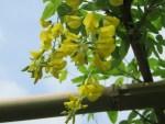 Golden chain/ キングサリ