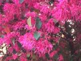 トキワマンサク 花の姿