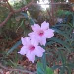 ヤナギバルエラソウ ピンク系の花のアップ