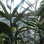 ゲットウ 植物の全体の姿