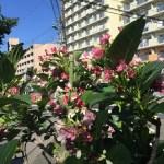 ハコネウツギ 花と枝の様子