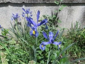 ダッチアイリス 花のアップ