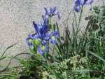 Dutch iris/ ダッチアイリス