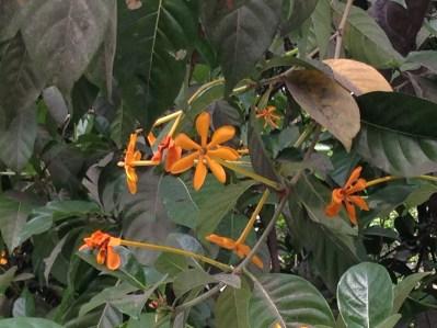 キバナクチナシ 花の終わりでオレンジ色に変わった花