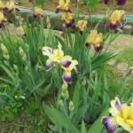 ジャーマンアイリス 花の様子
