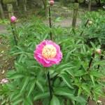 ボタン 少し盛りがすぎた花