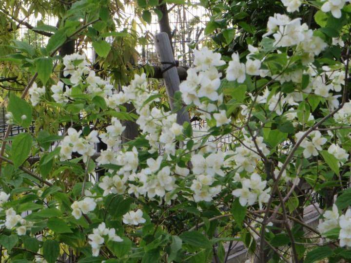バイカウツギ 花と葉の姿