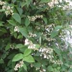 ウツギ 咲き始めの花
