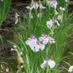 ハナショウブ 薄紫色の花