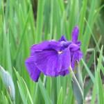 ハナショウブ 紫色の花