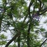 大木のジャカランダ 花は少ない