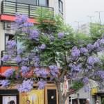 ジャカランダ 花つきの良い木
