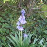 Spanish bluebell 花の姿