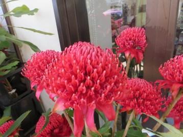テロペアスペキオシマ 花のアップ
