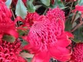 テロペアスペキオシマ 花の姿