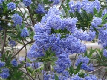 セアノサス 花の姿