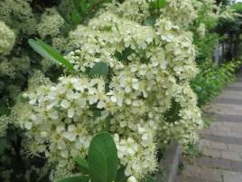 満開のトキワサンザシ 花のアップ