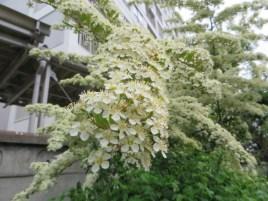 枝を包む満開のトキワサンザシ