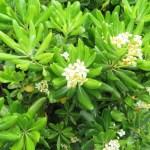 トベラ 花の様子