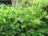 ニオイバンマツリ 木の様子