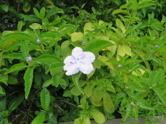 ニオイバンマツリ 白くなった古い花