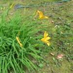 ゼンテイカ 花の様子