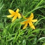Daylily/ ヒメカンゾウ 花の姿