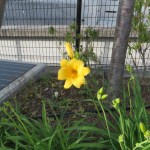 ヘメロカリスの花の様子