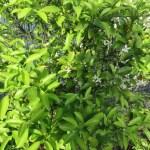 レモン 木の様子