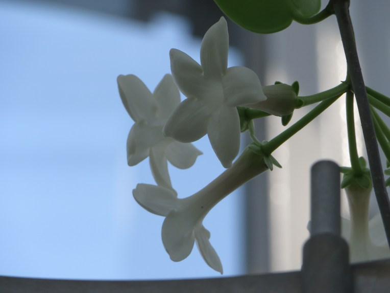 Madagascar jasmine/ マダガスカルジャスミン