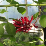 サンゴシトウ 花のアップ